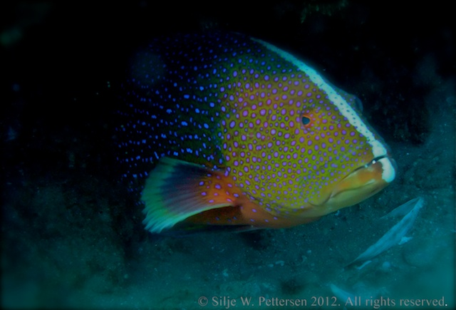 Grouper, Sodwana Bay